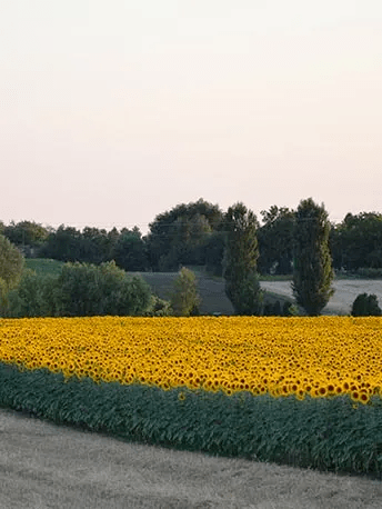 Sourcing of sunflower seeds from French organic farming